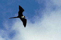 Magnificent Frigate bird - pirate of the oceans