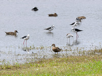 Pied Stilt and Grey Teal - Anas gibberifrons -Lake Gwelup