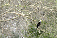African Fish Eagle  - Gorongosa