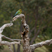 Rainbow Bee Eater - Merops ornates - at Lake Gwelup