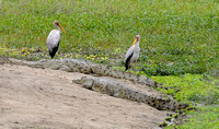 Yellow-billed Stork and Nile crocodile - Gorongosa NP