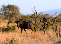 Who are you calling ugly then - Wildebeest in Kruger